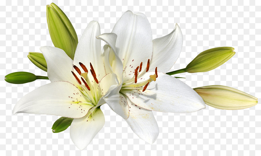 Easter Lily Background png download.