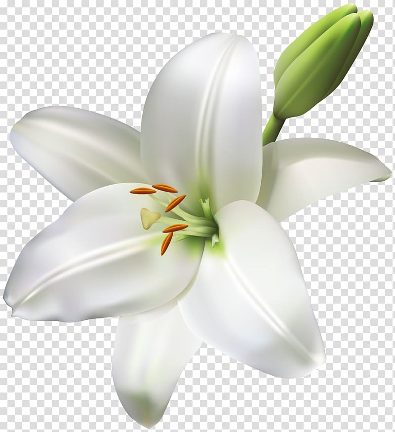 Madonna Lily Cut flowers Easter lily, flower transparent.