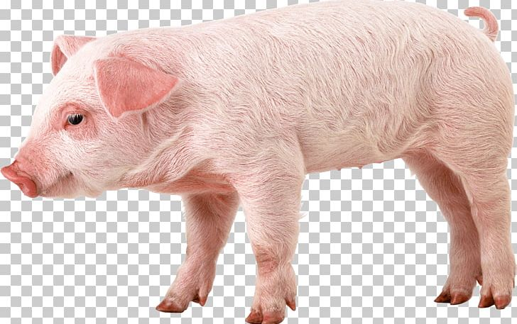 Don\'t Starve Together Domestic Pig The Pig King The.