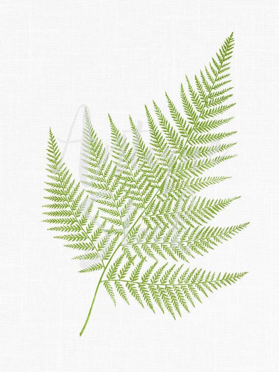 Fern Leaf Clipart, Botanical Illustration
