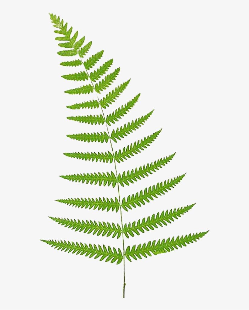 Fern Vector Leaf.