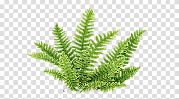 Green fern plant transparent background PNG clipart.