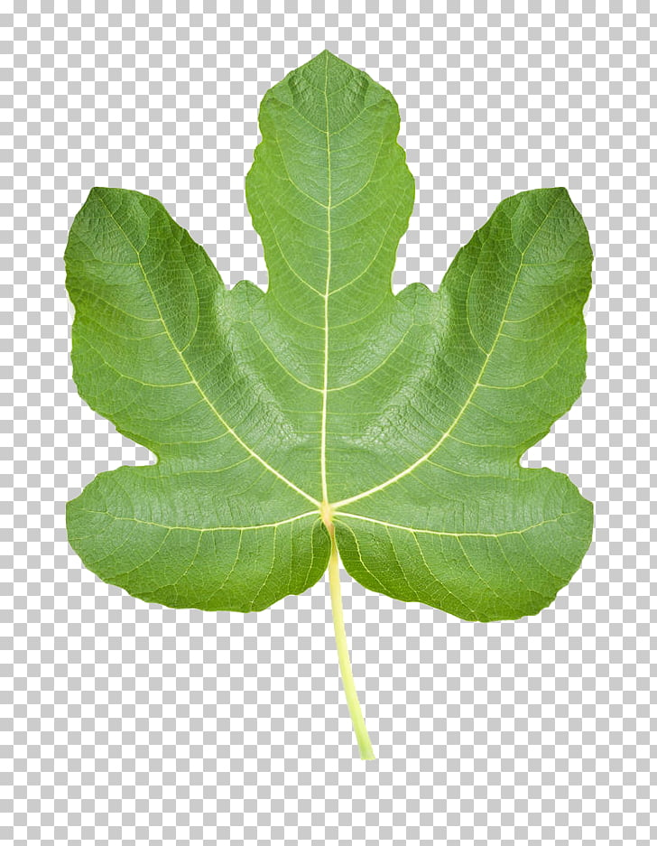 Common fig Ficus pumila Fig leaf Stock photography.
