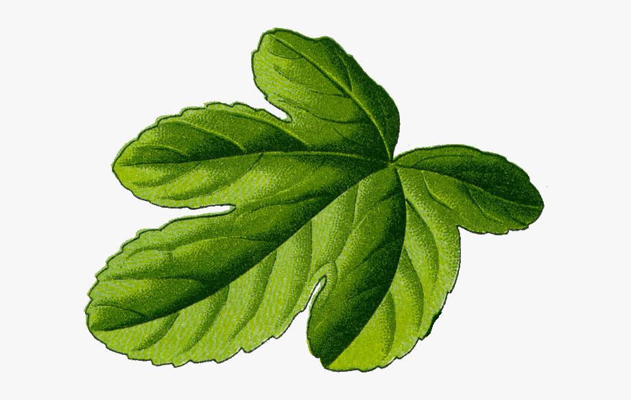 Fig Leaf Illustration.