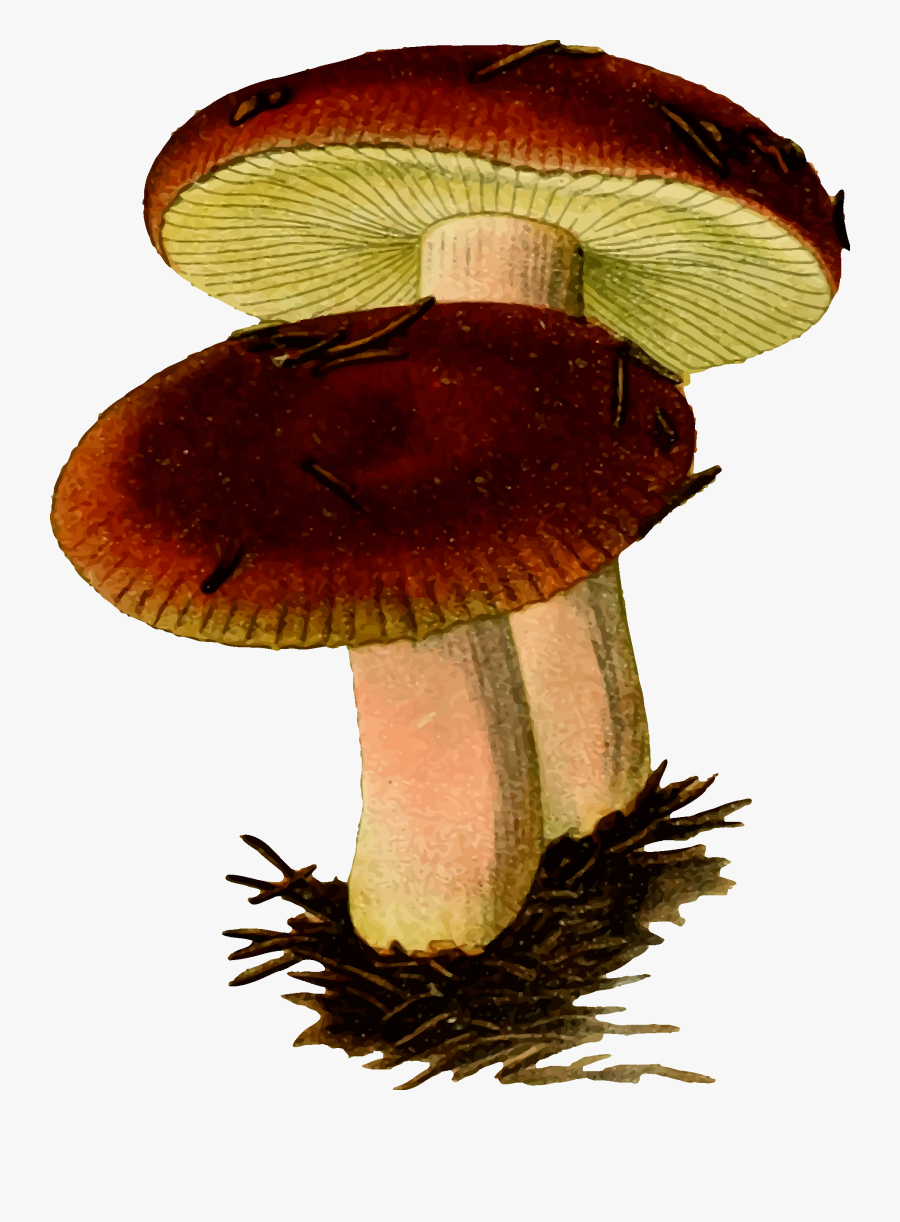 Two Mushrooms Vector Clipart Image.