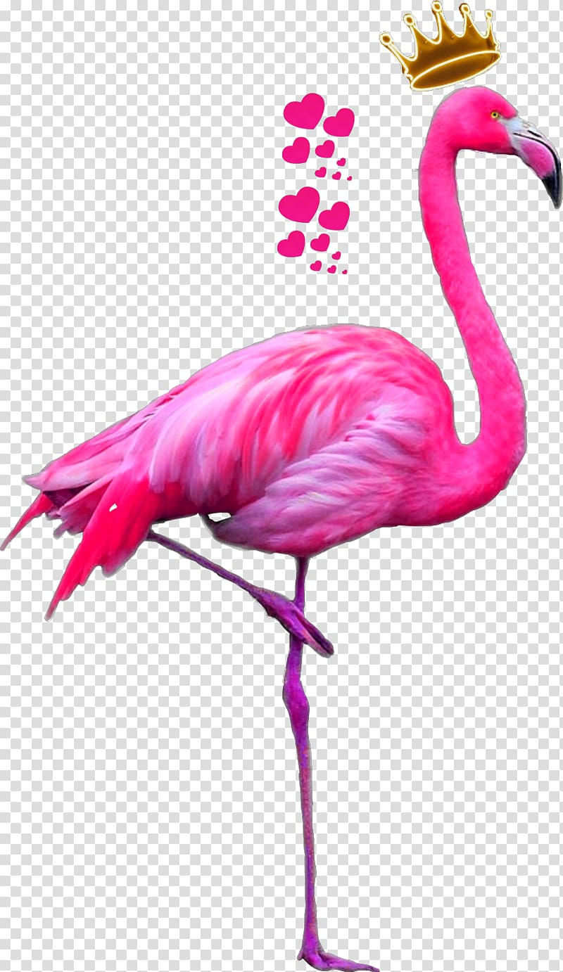 Flamingo illustration, Greater flamingo American flamingo.