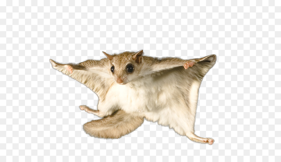 Flying squirrel Bat Rodent Raccoon.
