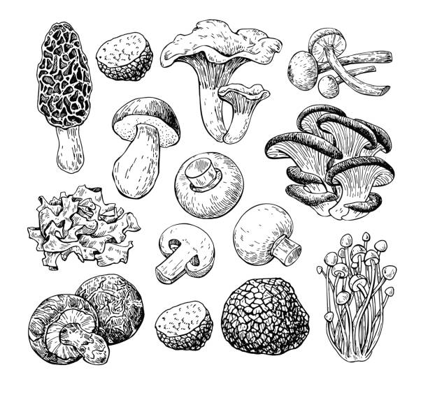 Best Fungus Illustrations, Royalty.