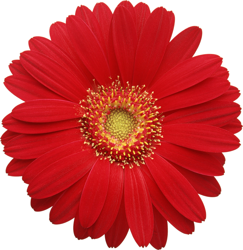 Red Gerber Daisy Clipart.