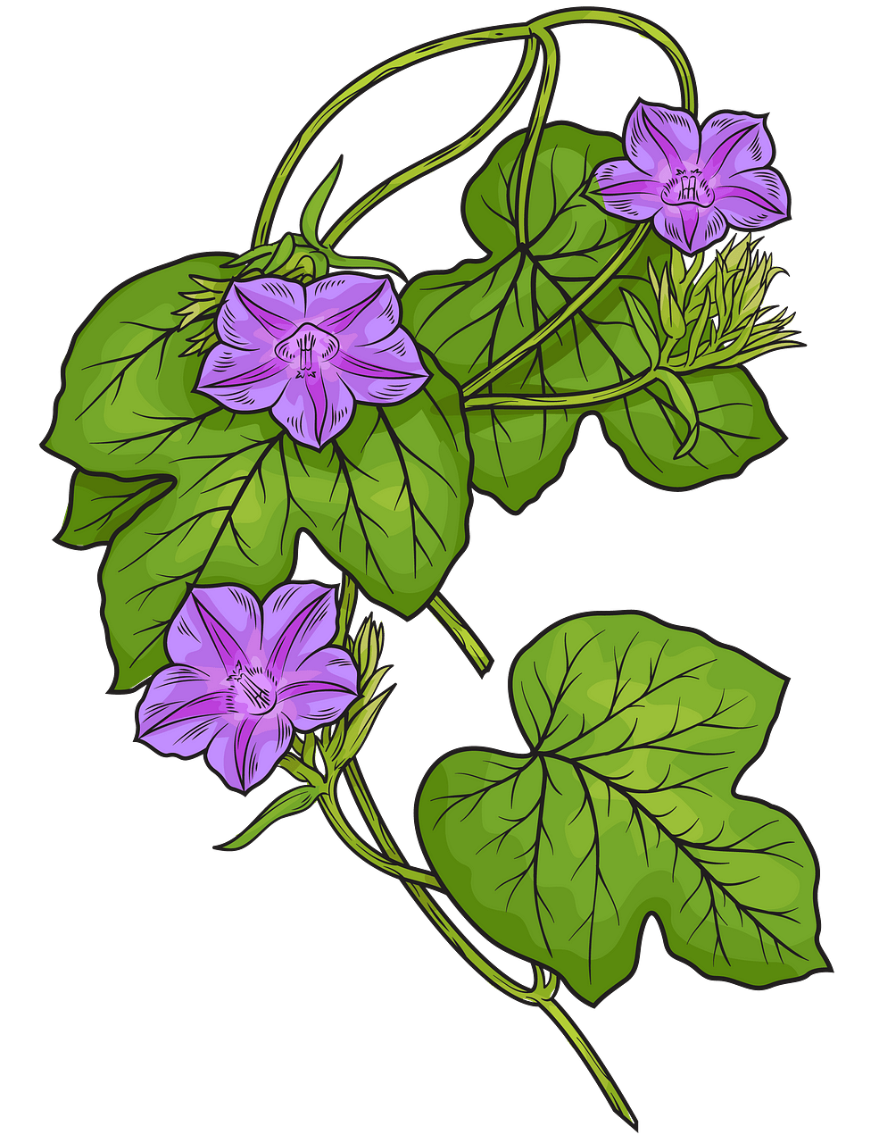 Fig leaved morning glory clipart. Free download..