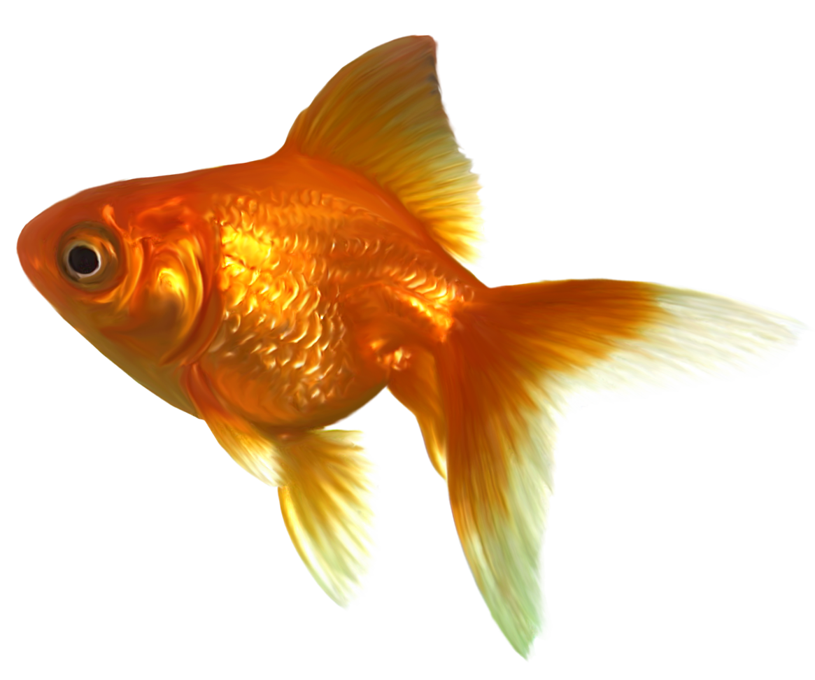 Realistic Goldfish PNG Clipart.
