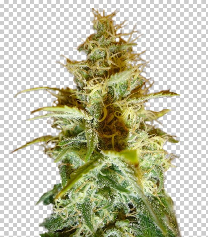 Cannabis Cup White Widow Cannabis Sativa Seed PNG, Clipart.