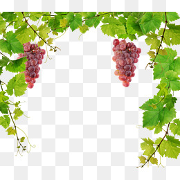 Fresh Vine, Vine Clipart, Grape, Vine PN #73099.