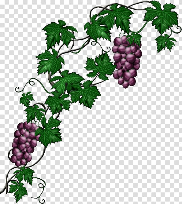 Grapes and vines , Common Grape Vine Plant, grape.