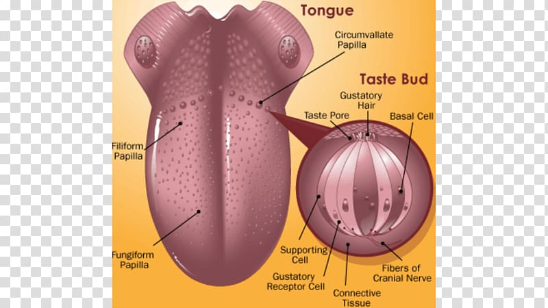 Taste bud Tongue Human anatomy bitterness, tongue.