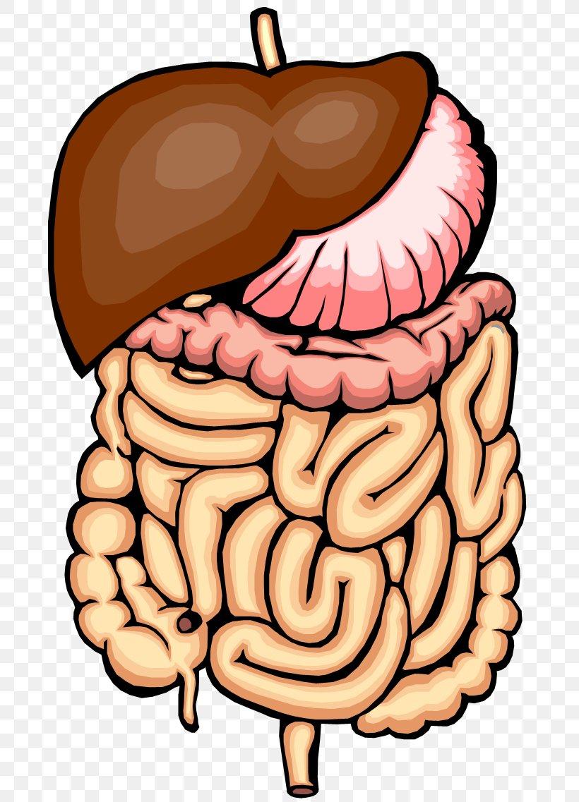 Gastrointestinal Tract Small Intestine Large Intestine Clip.