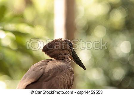Hamerkop bird Scopus umbretta.