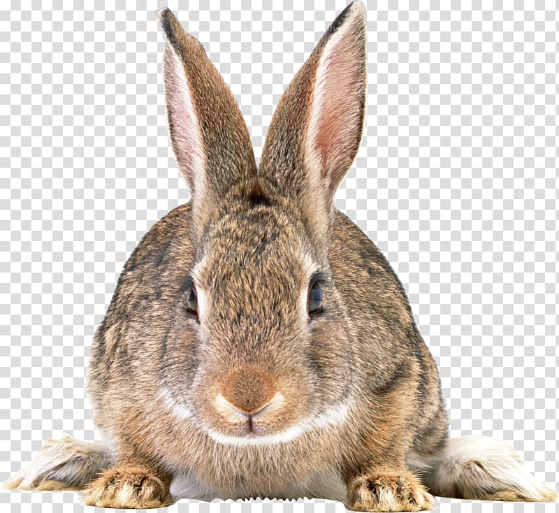 Easter Bunny Rabbit Hare, Gray rabbit transparent background PNG.