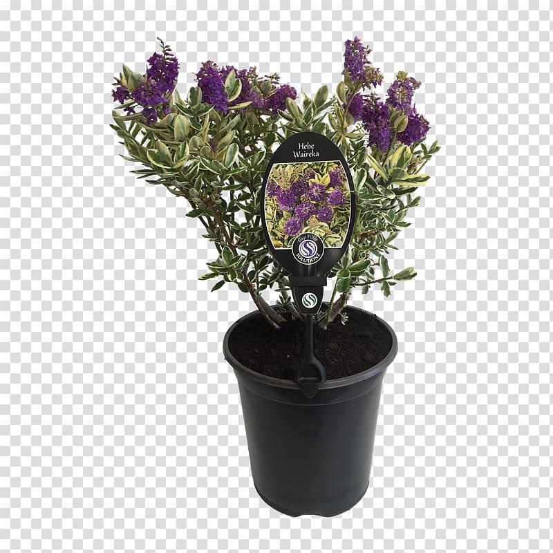 Flowers Background, Hebe Speciosa, Flowerpot, Shrub, Garden.
