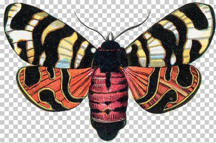 Arctia festiva Butterfly Garden tiger moth Insect Hebe, moth.