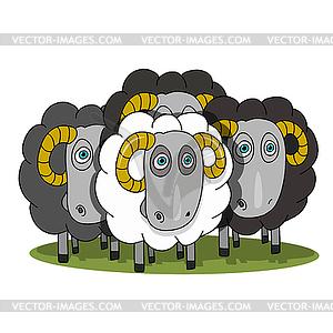 Stock Herd of Rams.