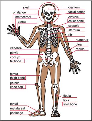 Clip Art: Human Anatomy: Skeletal System Color Labeled I.