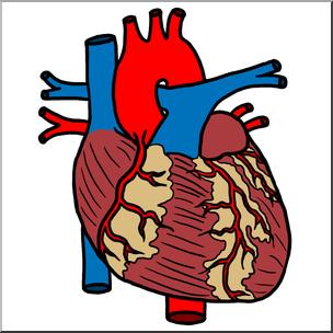 Clip Art: Human Heart Color I abcteach.com.