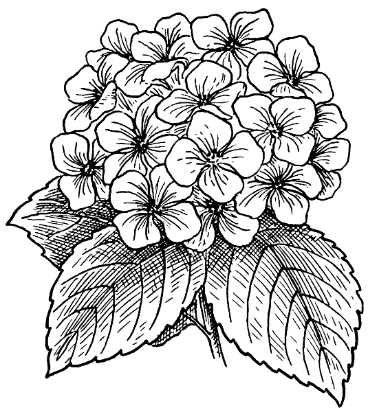 Pink Hydrangea Clipart Hydrangea Bw.
