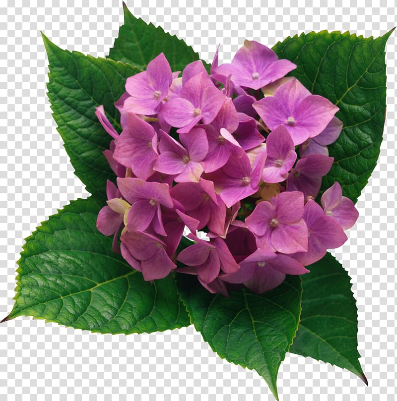 Pink Hydrangeas flower, French hydrangea Flower , Hydrangea.
