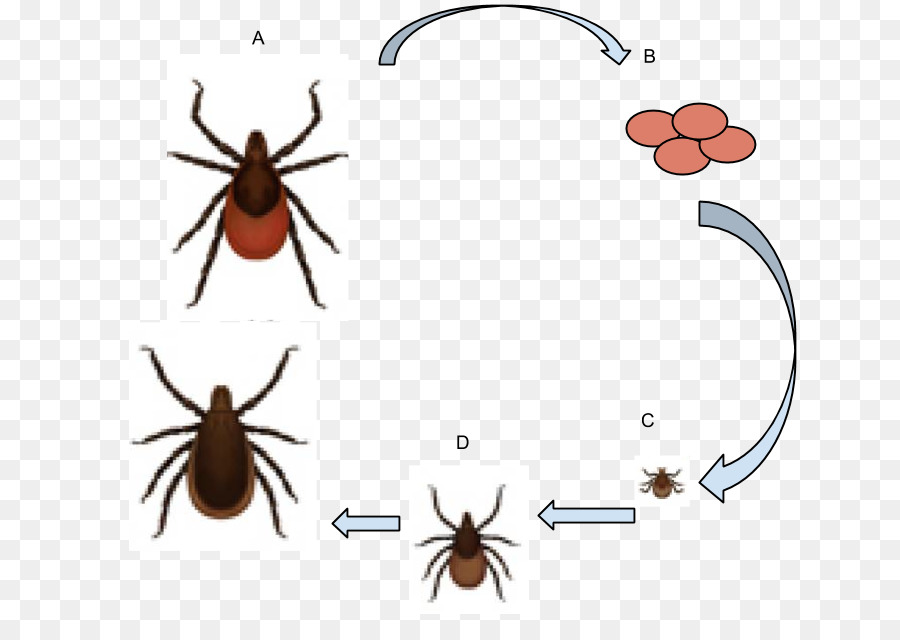 immature ticks clipart Deer tick Lyme disease clipart.