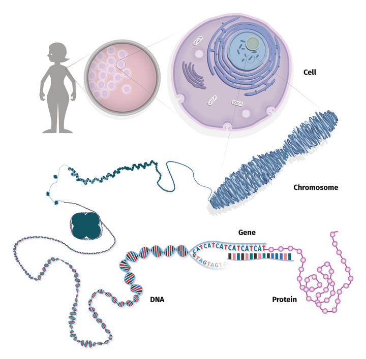 DNA, chromosomes and cells.