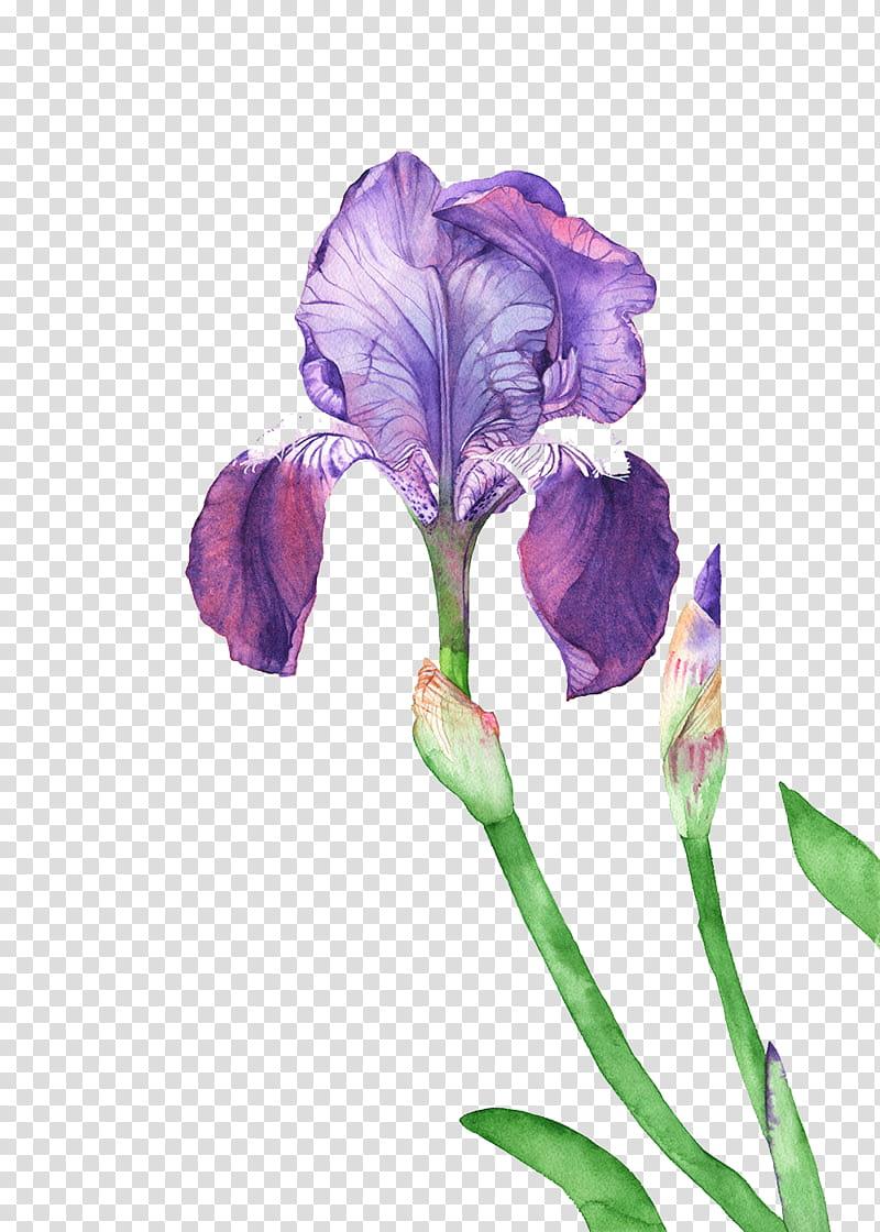 purple iris flower illustration transparent background PNG.