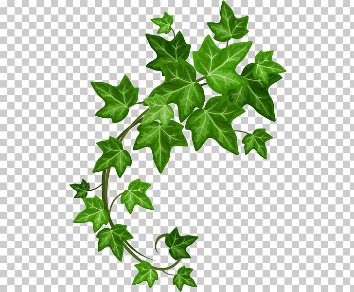 Ivy, ivy hand made PNG clipart.