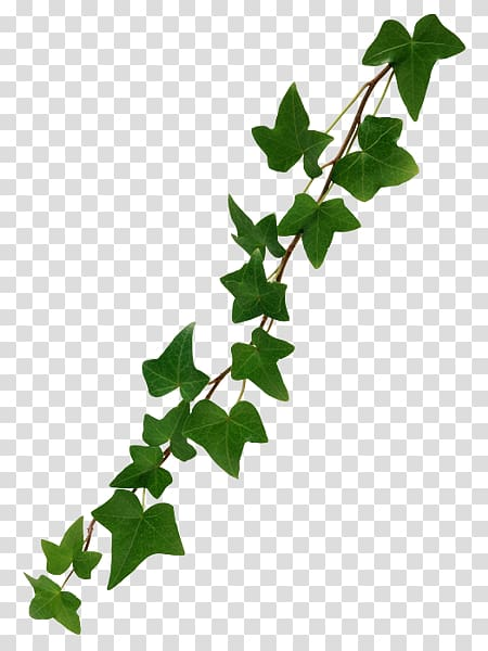 Vine Common ivy, ivy transparent background PNG clipart.