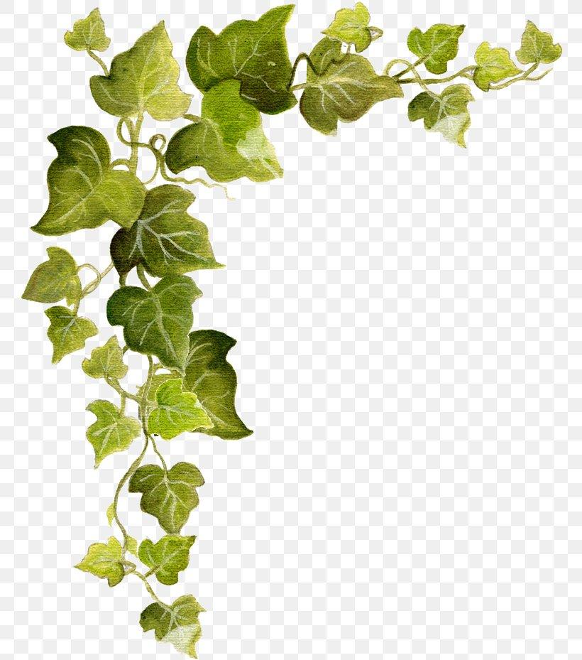 Common Ivy Vine Clip Art, PNG, 771x929px, Common Ivy, Branch.