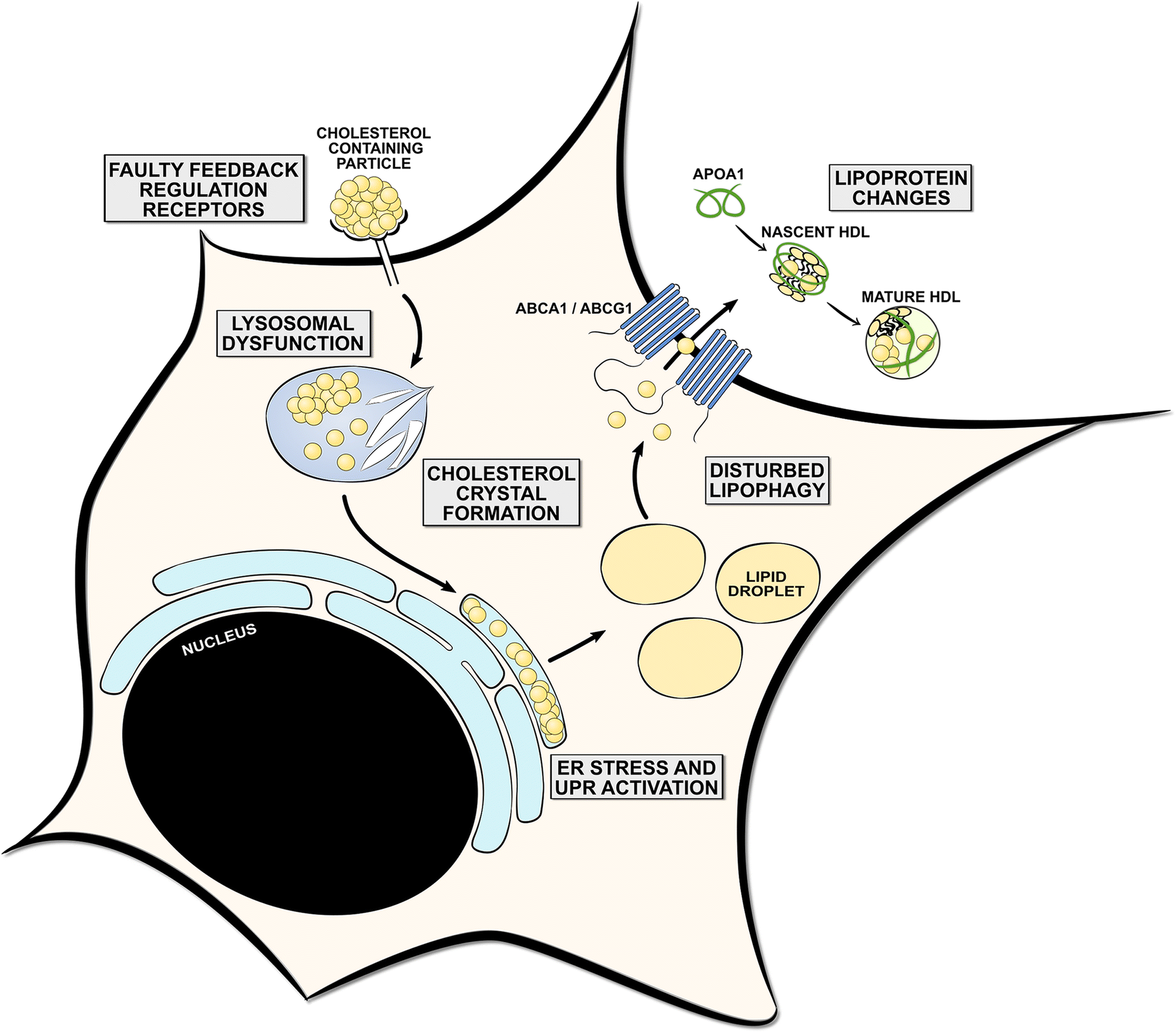 The physiology of foamy phagocytes in multiple sclerosis.