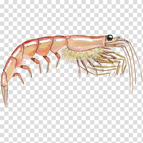 Caridea Krill Prawns , shell fish transparent background PNG.