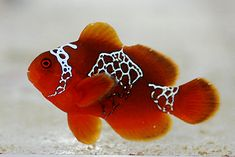 127 Best Clownfish and their Anemones images in 2019.