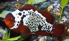 92 Best Clownfish images.