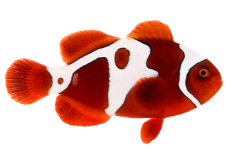 Gold Lightning Maroon Clownfish P. biaculeatus.