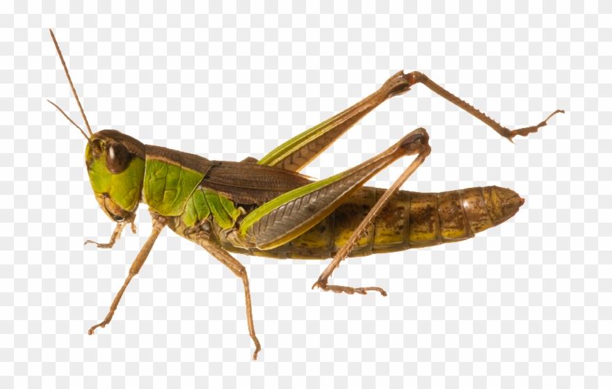 Locusts Clipart.