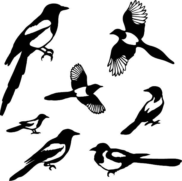 Best Magpie Illustrations, Royalty.