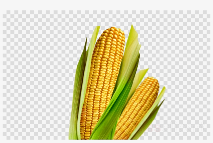Download Maiz Clipart Corn On The Cob Maize Vegetarian.