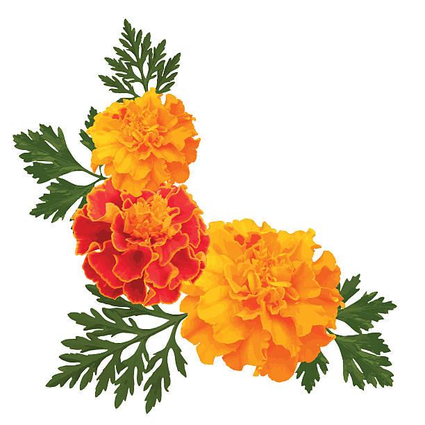 Best Marigold Illustrations, Royalty.
