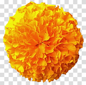 Marigolds transparent background PNG cliparts free download.