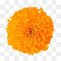 Marigold Flower, Flower Clipart, In Kind, Marigold PNG.
