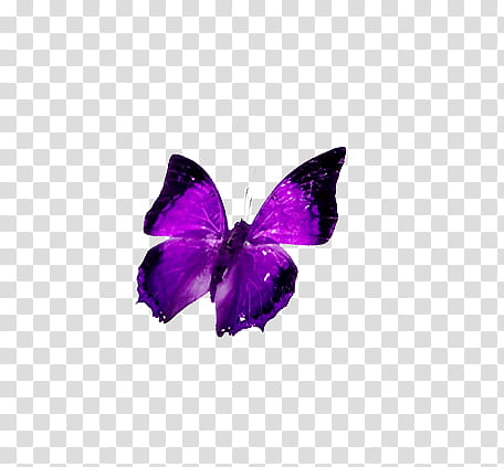 Mariposas, purple and black butterfly transparent background PNG.