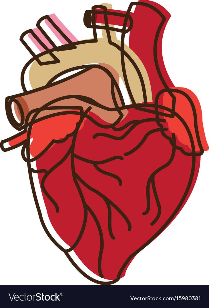 Human heart medical anatomical artery.
