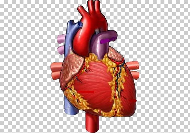 Medicine Heart Medical illustration Circulatory system.