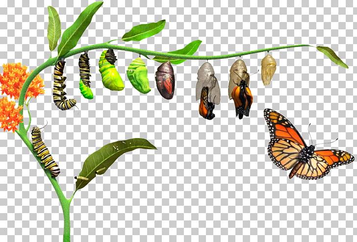 Monarch butterfly How Caterpillars Turn Into Butterflies.
